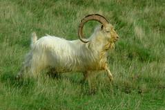 Kashmir goat. by Dalesman47