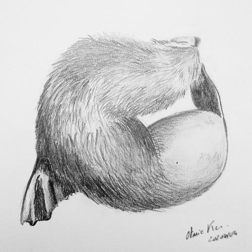 Fur seal - Otarie des Kerguelen