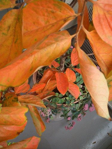 autumn persimmon leaves