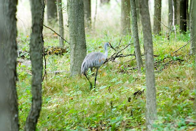 Sandhill Crane on a stroll through the woods - Kensington Park, Michigan