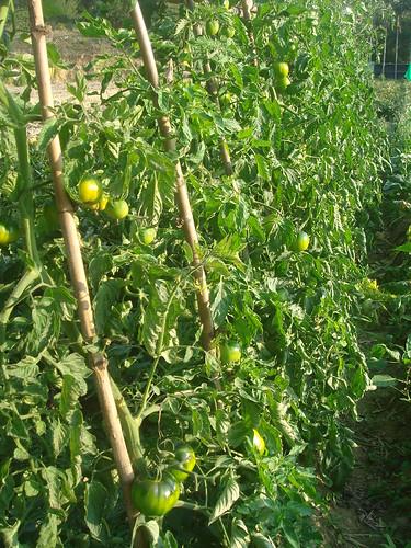 黑柿蕃茄1-1