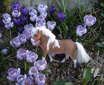 Pinto pony in unseasonably large crocus cr