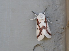 white with red moth