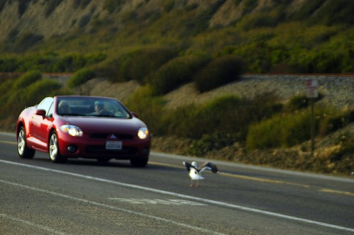 seagull and car playing chicken