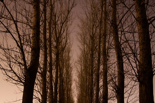 Row of trees at Arboretum at night