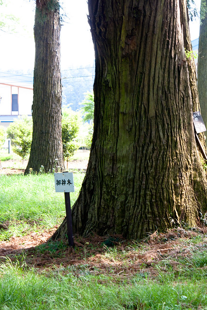 #59 Giant Sawara Cypress of Nasu Shrine