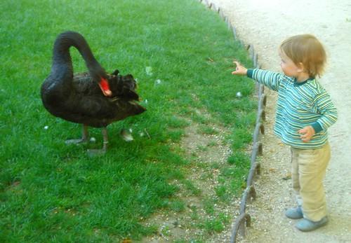 Criança alimenta cisne negro