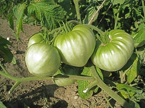 Mule team tomatoes on the vine.