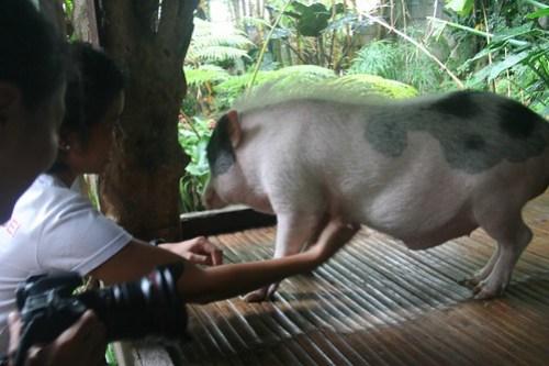 Pot-bellied pig, KInabuhayan Cafe