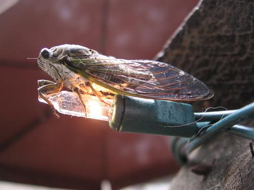 Cicada on a Mini Bulb