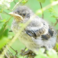 Mocking Bird Chick Getting Ready to Fly