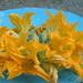 il mio orto: fiori di zucca