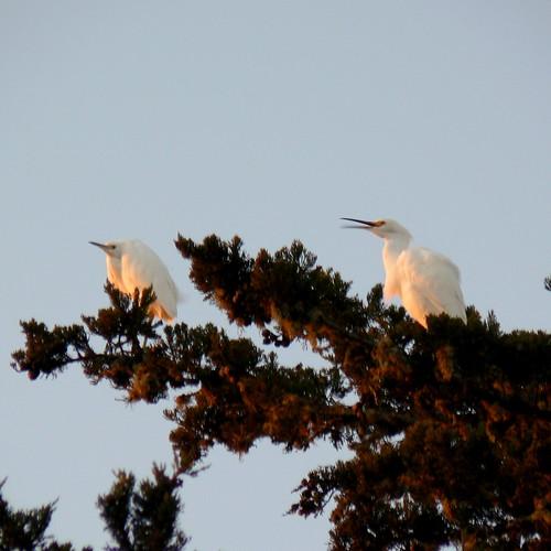 Noisy Egrets (Morro Bay)