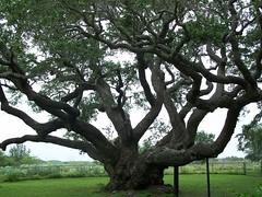 The Goose Island Oak