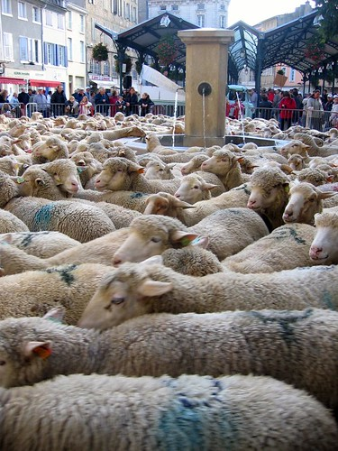 The sheep in the corral, going round and round.