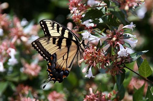 Male Swallowtail