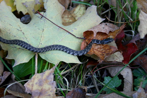 Young Black Rat Snake