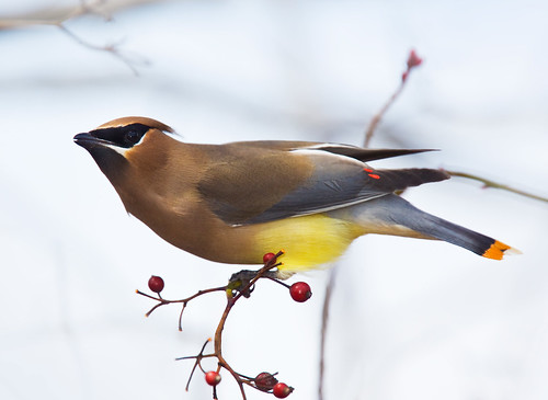 Cedar Waxwing with Orange Tail by Jim Gilbert