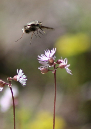 gray bee fly landing on bulbous woodland-star