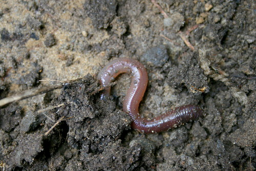 Earthworm for International Rock-flipping Day