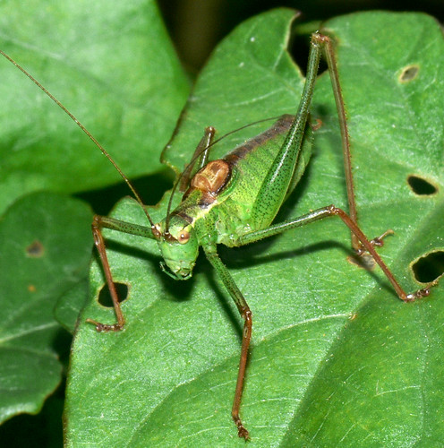 Speckled bush cricket (leptophyes punctatissima) adult male