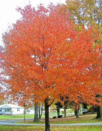 Red-Orange Tree - Big Creek