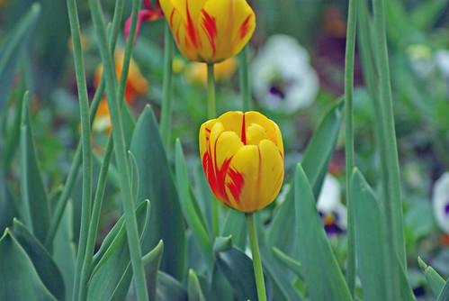 yellow-red tulips, istanbul tulip festival, istanbul , pentax k10d