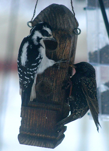 Hairy and starling at suet