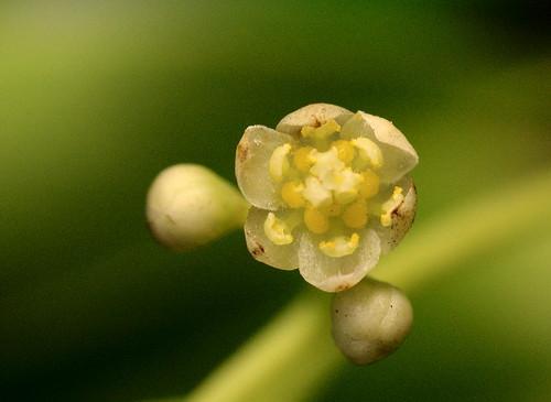 樟樹雄花期照片