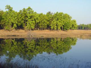 Sal trees around the watering hole at Bandhavgarh