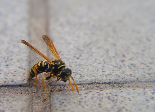 wasp on floor
