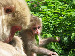 45 - Snow Monkeys - 20080618