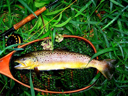 Nice Brown in Net from the Farmington River, Connecticut