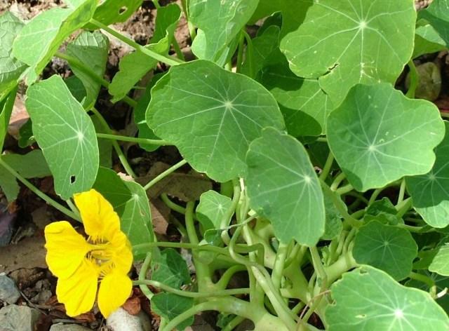 Nasterium in bloom. Edible flowers.
