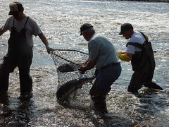 SturgeonNetResearchers capture a female sturgeon. They will collect weight, length, and other data before releasing her back to the river.(Photo by Fred Binkowski)