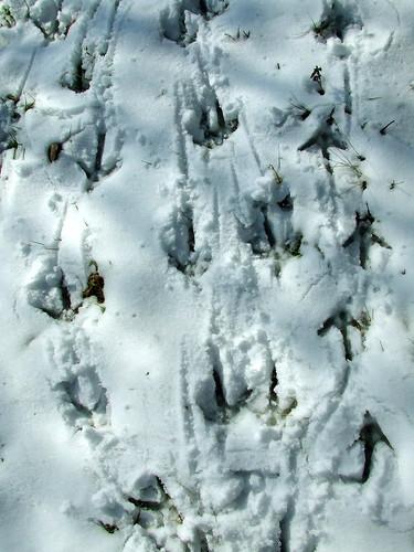 wild turkey tracks
