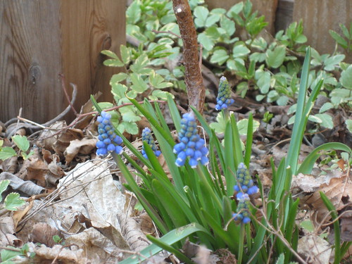 Grape hyacinth (by RPOPtream)