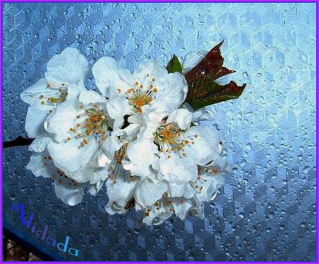 fiori ciliegio