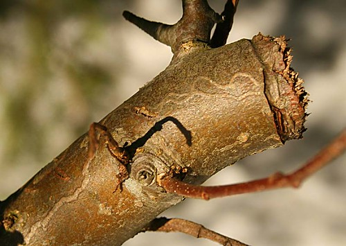 Insect mines under bark surface