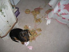 Dachshund destroys yarn