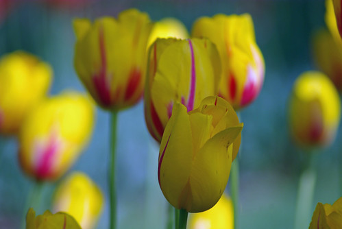 yellow tulips from Istanbul Tulip Festival, Pentax K10D