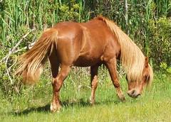 Horse on Assateague Island