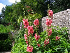Pink Hollyhocks at Charleston Farmhouse Garden...