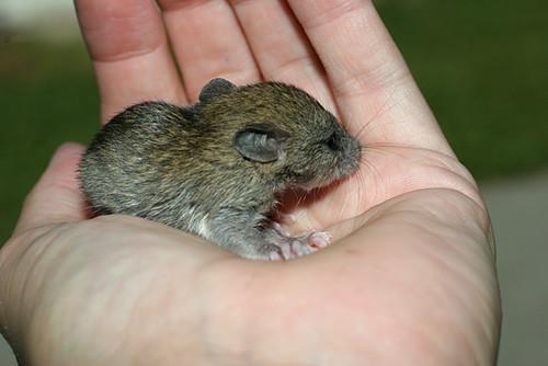 Baby-Rat4