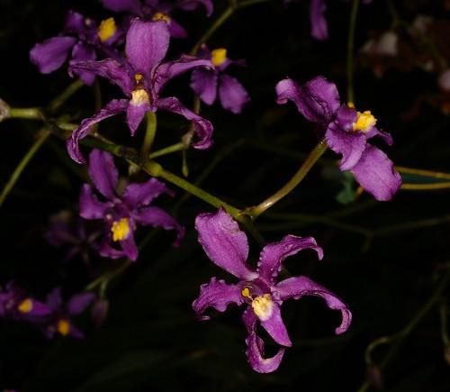 Orchidee profumate  Forum di Giardinaggioit