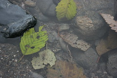 Cool Puddle, Green Leaf