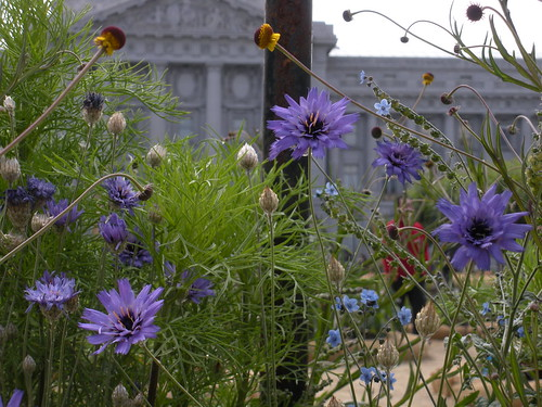 Catananche caerulea by sftrajan.