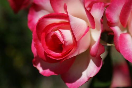 First Love Roses