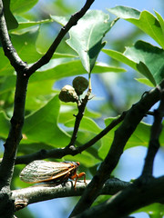 Cicada on scrub oak