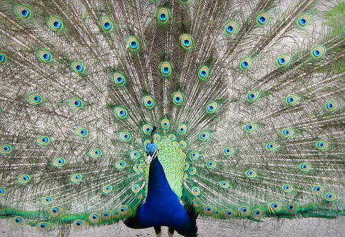 26/365 Peacock at Dartmoor Zoo by nualacharlie